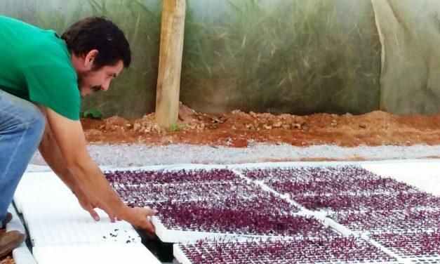 Produtor do Lago Oeste usa água de criação de peixe para cultivar morango