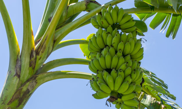 Praga na mandioca leva agricultores a sucesso com cultivo de banana
