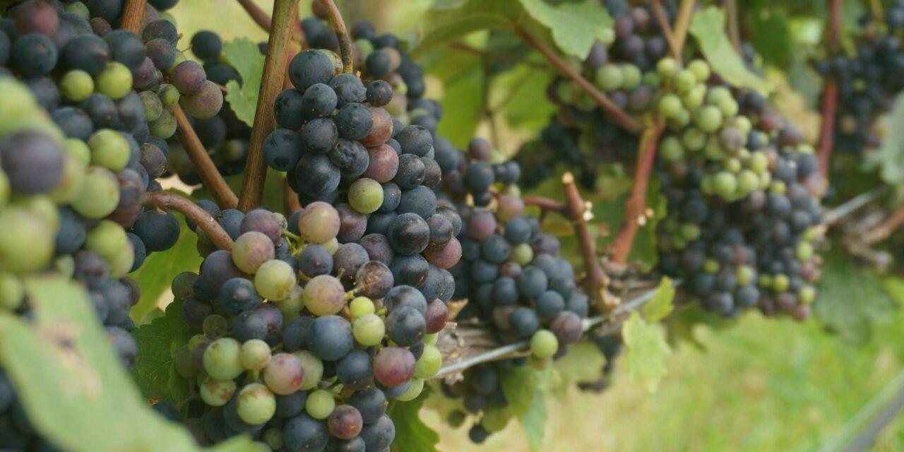 Produção de uva tem espaço para crescer