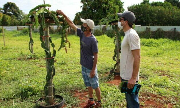 Pitaya, com alto valor agregado, é alternativa rentável ao agricultor