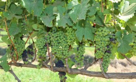 Distrito Federal na rota nacional do vinho